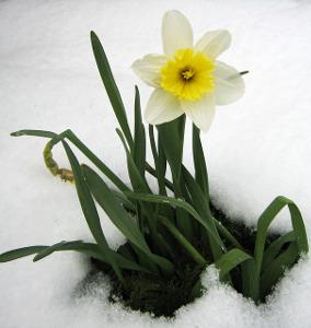 daffodil-13371_640