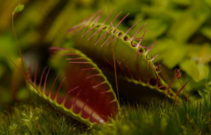 carnivorous-plant